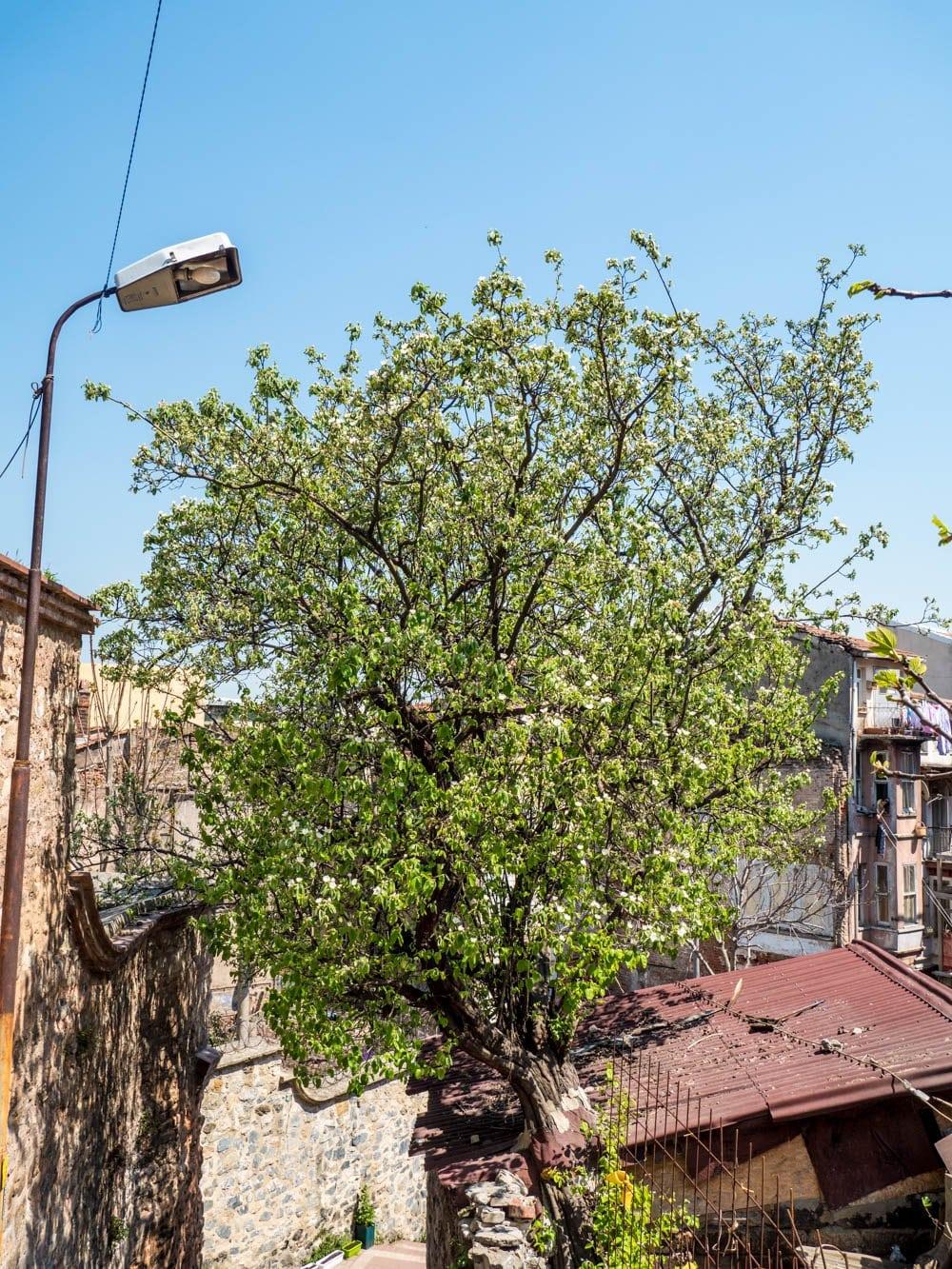 Kvedetre i grønn blomst i Fener / Balat, Istanbul